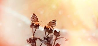 Vita fjärilar på torra gula blommor i äng royaltyfria foton