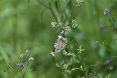 Vita fjärilar sätta sig på blåa vita blommor fotografering för bildbyråer