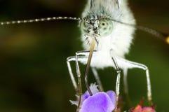 Vita fjärilsPierisrapae arkivbilder