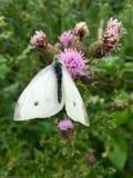 Vita fjärilsPierisrapae på rosa blommande tistel Arkivfoto
