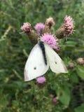 Vita fjärilsPierisrapae på rosa blommande tistel Arkivfoton