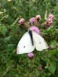 Vita fjärilsPierisrapae på rosa blommande tistel Royaltyfri Bild