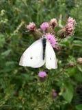 Vita fjärilsPierisrapae på rosa blommande tistel Royaltyfri Fotografi