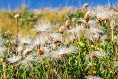 vita fluffiga dryader för blommaberg Fotografering för Bildbyråer