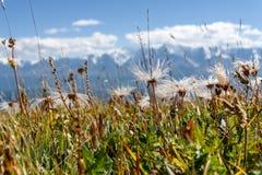 vita fluffiga dryader för blommaberg Royaltyfri Bild