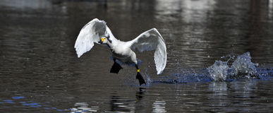 vita flygswans Fotografering för Bildbyråer