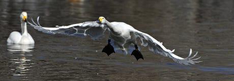 vita flygswans Royaltyfri Bild