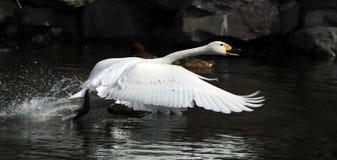 vita flygswans Arkivfoton