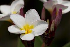 Vita frangipaniblommor. royaltyfri foto