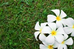 Vita frangipaniblommor Royaltyfria Bilder
