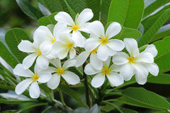 Vita frangipaniblommor Fotografering för Bildbyråer