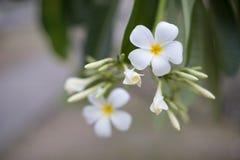Vita frangipaniblommor på filial i suddig bakgrund royaltyfria foton