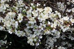Vita frodiga blommor av slånet royaltyfri fotografi