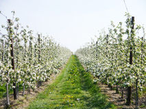 Vita fruitblossoms i vår Royaltyfri Bild
