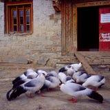 vita gå i ax pheasants Fotografering för Bildbyråer