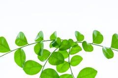 vita gröna isolerade leaves för bakgrund Royaltyfri Bild