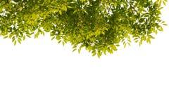 vita gröna isolerade leaves för bakgrund Arkivbild