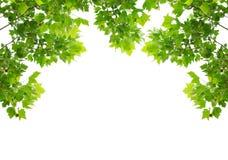 vita gröna isolerade leaves för bakgrund Royaltyfri Fotografi