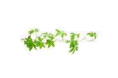 vita gröna isolerade leaves för bakgrund Royaltyfri Foto