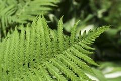 vita gröna isolerade leaves för fern fotografering för bildbyråer