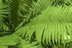 vita gröna isolerade leaves för fern arkivbild