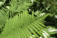 vita gröna isolerade leaves för fern royaltyfri fotografi