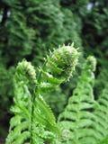 vita gröna isolerade leaves för fern royaltyfria foton