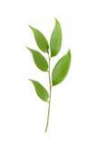 vita gröna isolerade leaves för filial royaltyfria foton