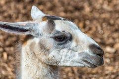 Vita Gray Llama i profil Royaltyfri Foto