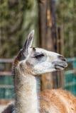 Vita Gray Llama i profil Arkivfoton