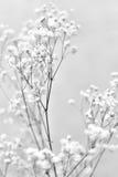 Vita gypsophilablommor Arkivbilder