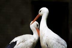 Vita häger från zoo Fotografering för Bildbyråer
