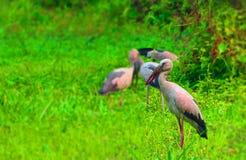Vita häger i Bangladesh de kommer att besöka varje år här som flyttfåglar från cyberia Arkivfoton