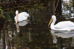 Vita häger som simmar med deras reflexioner i vattnet Royaltyfria Bilder