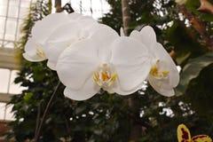 vita hängande orchids arkivbild