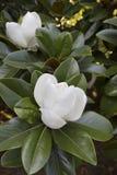 vita härliga blommor Royaltyfria Foton