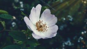 vita härliga blommor Arkivbild