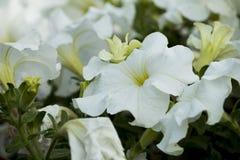 Vita härliga blommor som blommar i trädgården fotografering för bildbyråer
