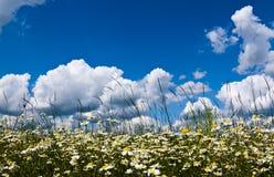 vita härliga chamomiles Arkivbilder