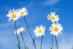 vita härliga chamomiles Royaltyfri Foto