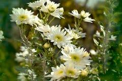 vita härliga chrysanthemums Arkivbild