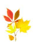 vita härliga isolerade leaves för höst Arkivbild