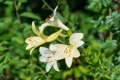Vita härliga liljablommor Arkivfoto