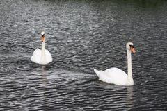 vita härliga swans Arkivfoton