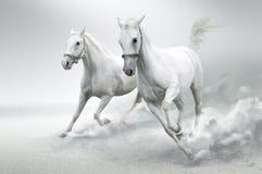vita hästar Royaltyfria Bilder