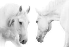 vita hästar Arkivfoto