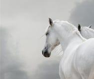 vita hästar Arkivfoton