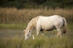 Vita hästar av Camargue Royaltyfri Bild