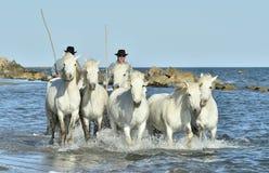Vita hästar av Camargue spring till och med vatten Arkivbilder