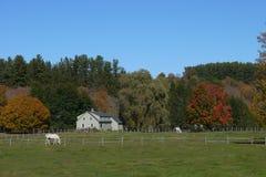 Vita hästar på en lantgård Arkivbilder